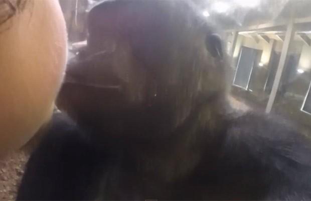 Americana e gorila trocam beijos separados por proteção de vidro (Foto: Reprodução/YouTube/Denise Allyson)