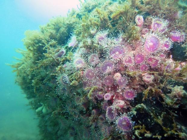 Corynactis sp, espécie próxima dos corais que ocorre em maior abundância na região mais ao sul (Foto: Edson Faria Junior/Arquivo pessoal)
