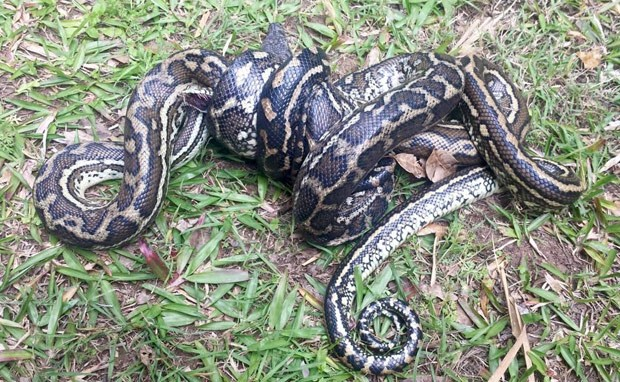 Píton enorme matou rival menor e surpreendeu especialista (Foto: Reprodução/Facebook/Sunshine Coast Snake Catchers 24/7)