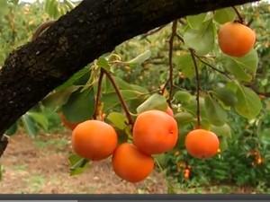 Caqui na merenda escolar em Itatiba nosso Campo TV TEM (Foto: Reprodução/TV Tem)