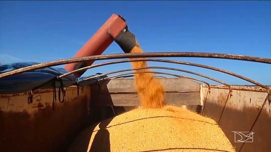 Agricultores iniciam colheita da safra de milho no Sul do MA