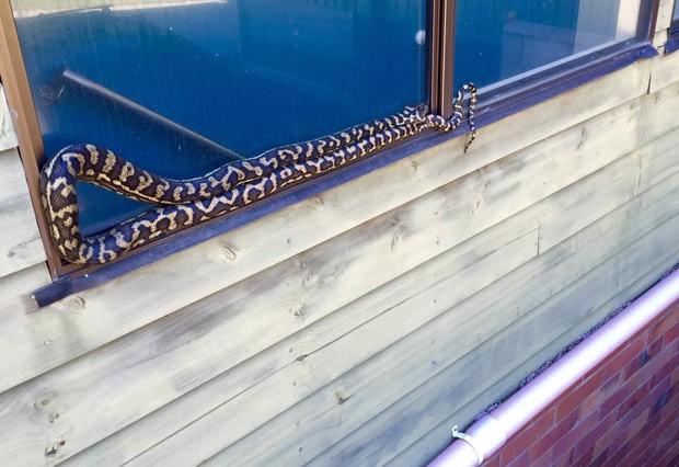 Família ficou em pânico ao flagrar cobra enorme em parapeito de janela (Foto: Reprodução/Facebook/Sunshine Coast Snake Catchers)