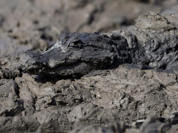 Jacaré é retratado na lama do rio Pilcomayo, na fronteira entre Paraguai e Argentina (Foto: Jorge Adorno/Reuters)
