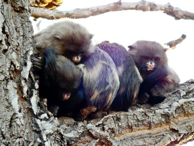 O fotógrafo Nicélio Silva registrou o momento em que uma família de saguis se encolhia em cima de um galho de uma árvore, dentro do Parque Massairo Okamura, em Cuiabá. Nicélio disse que tentava fotografar aves no parque e acabou encontrando os macacos que tentavam se proteger do frio no final da tarde. O parque está localizado na Avenida Historiador Rubens de Mendonça (do CPA), conta com cerca de dois quilômetros de trilhas e tem em seus limites na cabeceira do Córrego Barbado. (Foto: Nicélio Silva/Ibama)
