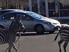 Duas zebras fogem de circo e 'atrapalham' trânsito nos EUA