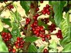 No ES, qualidade do café conilon é boa, mas o preço desanima