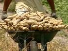 Produtores de batata doce de Sergipe comemoram a boa safra