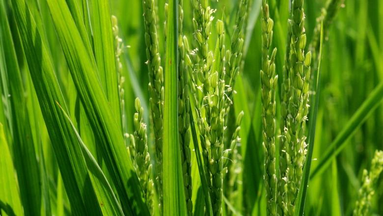 agricultura_arroz_arrozal (Foto: Manoel Marques / Editora Globo.)