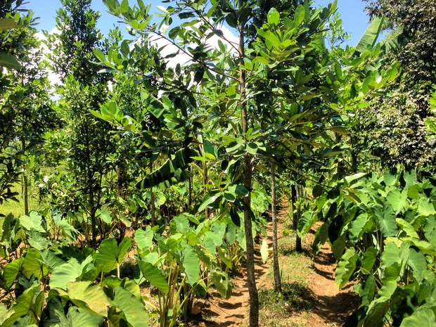 Entre as árvores de guanandi, o plantio de inhame (Foto: Arquivo pessoal/Patrick Assumpção)