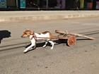 Cachorro puxa 'carro de boi' durante desfile de carreiros no Sul de Minas