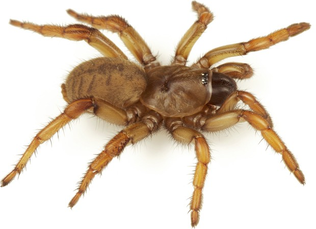 """Aranha fêmea da espécie 'Aptostichus barackobamai', batizada em homenagem ao presidente Barack Obama (Foto: Divulgação/""""ZooKeys"""") (Foto: Divulgação/""""ZooKeys"""")"""
