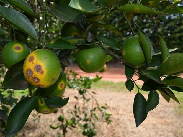 Greening prejudicou pomar de laranjas em Matão (Foto: Thayna Cunha/ G1)