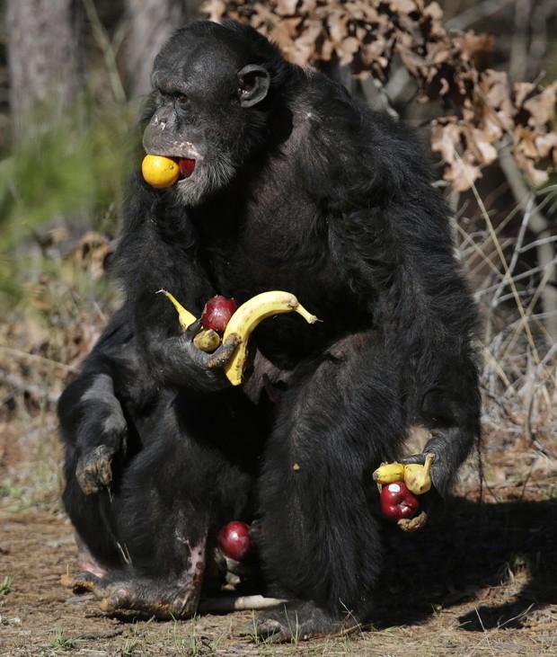 Chimpanzé 'fominha' carregou frutas com as mãos, pés e até com a boca (Foto: Gerald Herbert/AP)