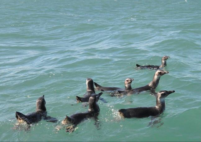 Grupo de oito pinguins foi solto nesta segunda-feira (31) na Praia do Moçambique, em Florianópolis (Foto: Fatma/Divulgação)