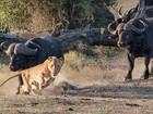 Lista reúne leões fugindo como 'gato assustado' após ataque frustrado