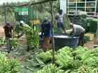 Agricultores da BA se unem para ganhar mais com o cultivo da banana