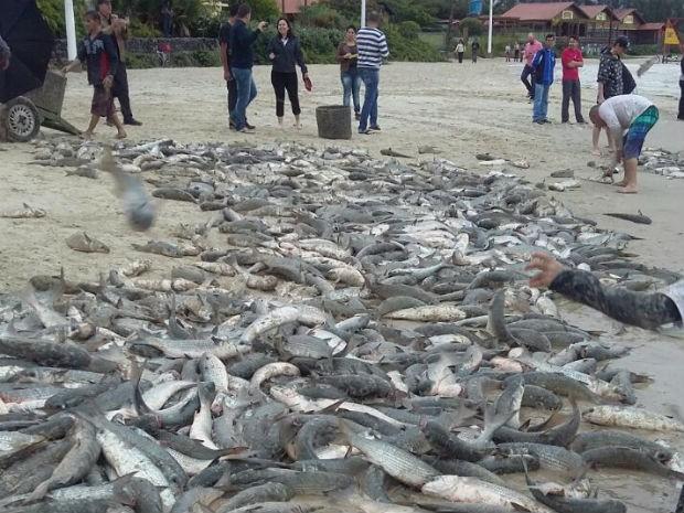 Só na Barra da Lagoa, no Leste de Florianópolis, foram 12 toneladas do peixe (Foto: Marcelo João dos Santos/Divulgação)