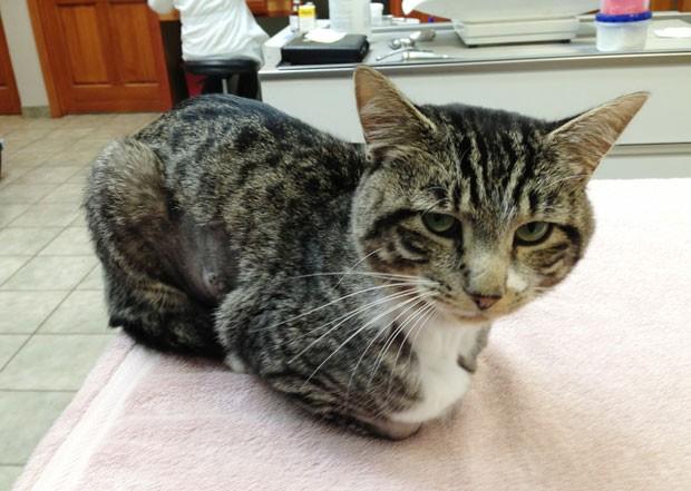 Imagem divulgada nesta quarta-feira mostra o felino já recuperado da cirurgia (Foto: James Gilchrist/AP)