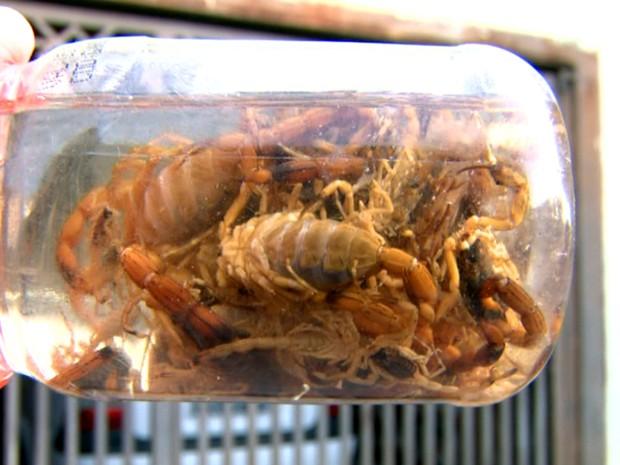 Escorpiões encontrados na região do bairro Jardim Brasília em São Carlos (Foto: Paulo Chiari/EPTV)