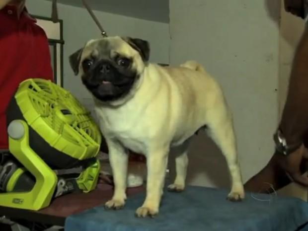 Pug participou de competição em Cuiabá (Foto: Reprodução/ TVCA)