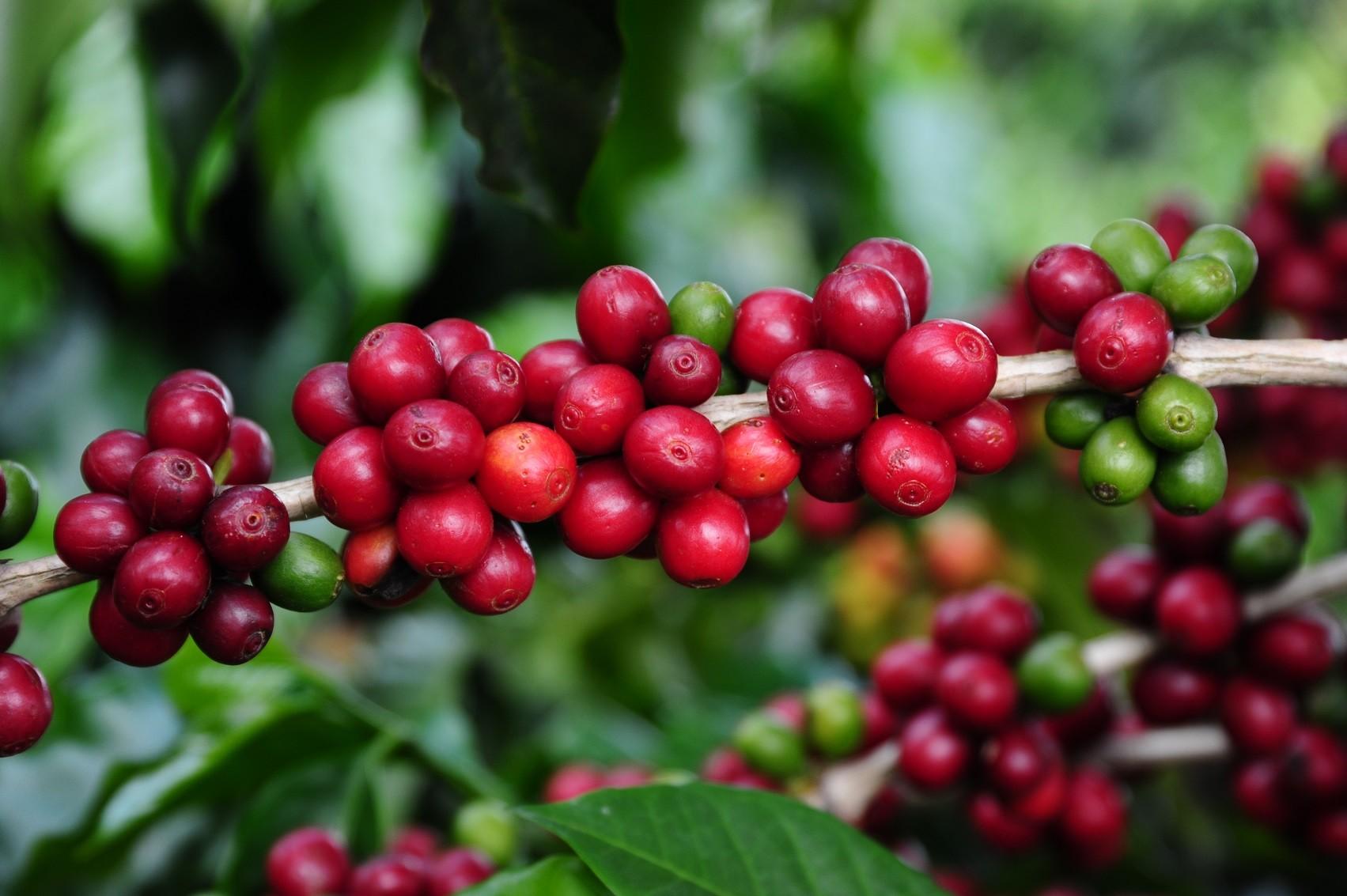 cafe-arabica-minas-gerais (Foto: Alexandre Soares/Emater-MG)