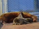 Zoo de Washington anuncia nascimento de leão-marinho