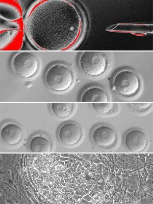 Cientistas criam células-tronco humanas por meio de clonagem (Foto: Divulgação/OHSU)