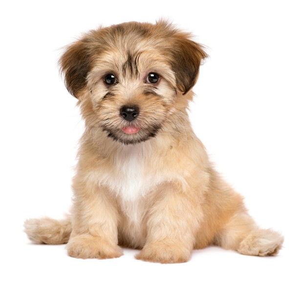 Cute havanese puppy dog is sitting frontal and looking at camera, isolated on white background (Foto: Getty Images/iStockphoto)