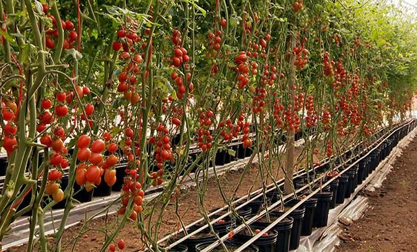 Tomate tipo grepe está sendo cultivada em vasos e cochos (Foto: Reprodução TV Fronteira)