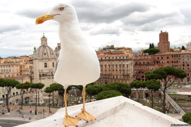 Observando a parte histórica de Roma, esta gaivota das patas amarelas foi flagrada por Silviu Petrovan e ganhou destaque no concurso (Foto:  Silviu Petrovan/BBC)