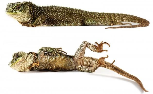 Exemplar adulto do lagarto 'Enyalioides anisolepis', também encontrado no Equador por cientistas (Foto: Divulgação/Instituto Smithsonian)