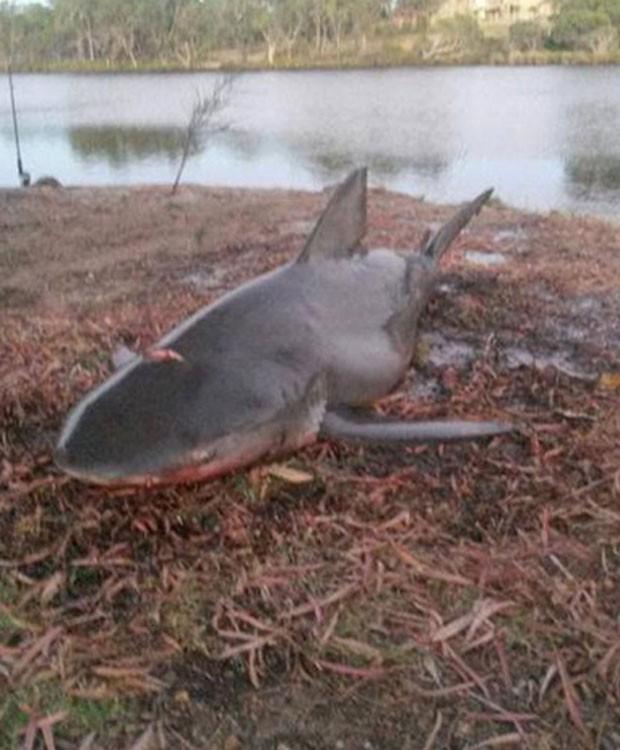 Pescadores australianos capturaram tubarão-cabeça-chata de 1,8 metro no rio Collie (Foto: Reprodução/YouTube/Mick's Best)