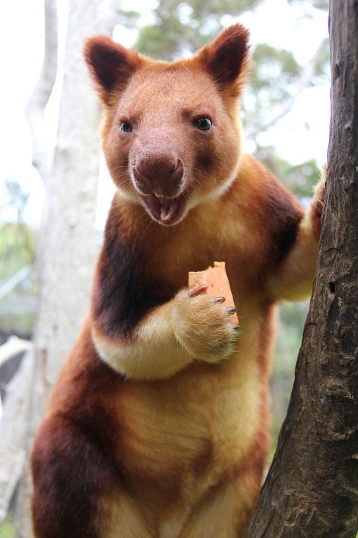 Canguru (Foto: Taronga Zoo)