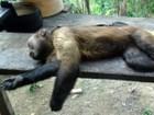 FVS descarta surto de febre amarela em macacos mortos no interior do AM