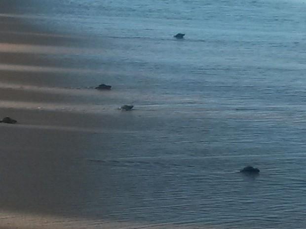 O procedimento foi realizado à tarde porque normalmente as tartarugas recém-nascidas saem em direção ao mar à noite, e a luzes acabam atraindo-as para direções erradas, ocasionando eventualmente a morte de parte delas. A tartaruga de pente é considerada a (Foto: Krystine Carneiro/G1)