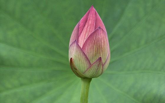 Flor de lótus para desabrochar (Foto: Frank Gualtieri/Wikimedia Commons)