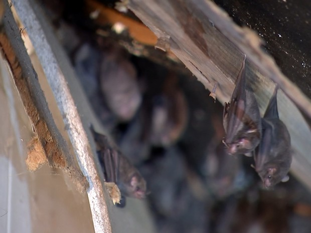 Morcegos têm um sistema de orientação por ecolocalização (Foto: Reprodução/ TV TEM)
