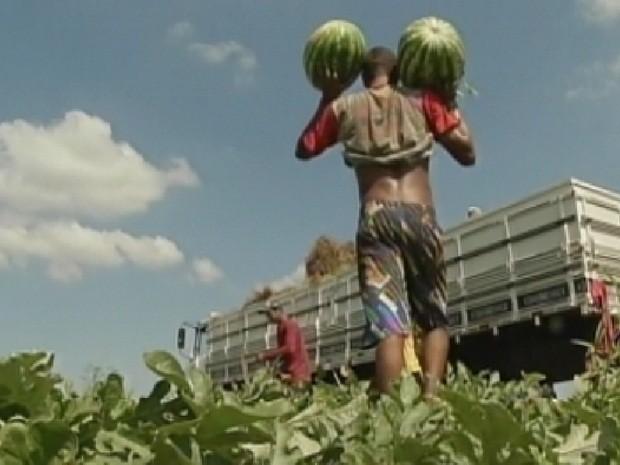 Trabalhadores intensificaram colheita na região Centro-Oeste (Foto: Reprodução/TV Tem)