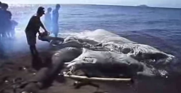 Criatura marinha gigante foi encontrada nas Filipinas (Foto: Reprodução/disclose.tv)