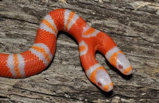 Em 2011, uma cobra falsa coral albina de duas cabeças virou atração de um serpentário em Ridge Manor, no estado americano da Flórida (Foto: Daniel Parker/AP)