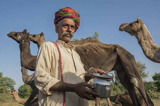 Na complexa sociedade indiana, são os raikas que cuidam dos rebanhos de dromedários no Rajastão (Foto: © Haroldo Castro/ÉPOCA)