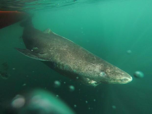 Tubarão vive em águas frias; temperatura é fator apontado pelos cientistas para maior tempo de vida (Foto: Julius Nielsen)
