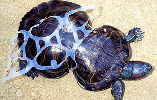 Plástico jogado no chão acabou deformando completamente a tartaruga Peanut (Foto: Reprodução/BBC)