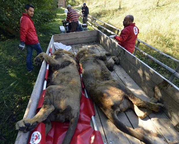 Leões foram sedados por membros da ONG para serem retirados de zoológico na Sérvia (Foto: Mihai Vasile/Four Paws/Reuters)