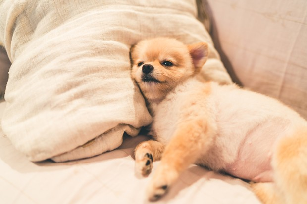 Cute pomeranian dog sleeping on pillow on bed, with copy space (Foto: Getty Images/iStockphoto)