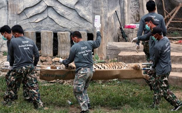 Tigre sedado é removido por oficiais no Templo do Tigre, na Tailândia (Foto: REUTERS/Chaiwat Subprasom)