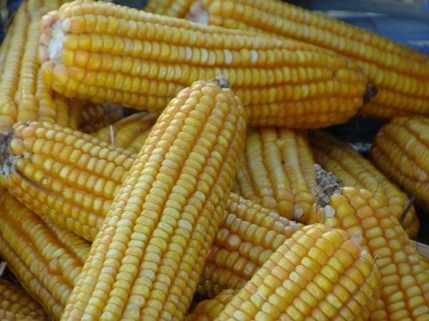 Queda no preço do milho está preocupando produtores em MS (Foto: Anderson Viegas/G1 MS)