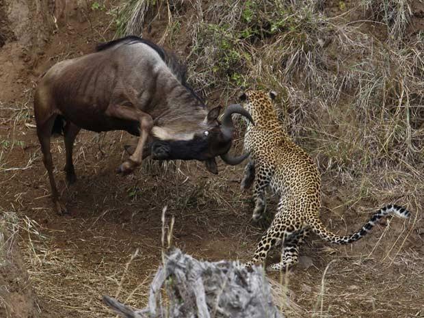 Em 2011, um fotógrafo ucraniano flagrou um leopardo atacando um grupo de gnus à beira de um rio no Parque Nacional Masai Mara, no Quênia. Mas, ao lançar um ataque-surpresa, o felino acabou sendo duramente rechaçado por um dos gnus, e acabou desistindo da empreitada (Foto: Vadim Onishchenko/Caters)