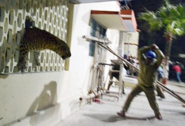 O exemplar de leopardo aproveitou um buraco feito na parede para escapar de autoridades que tentavam capturar o felino nesta segunda-feira (24) (Fot STR/AFP)