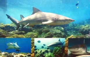 euatleta XTerra Noronha tubarões (Foto: Reprodução Museu do Tubarão)